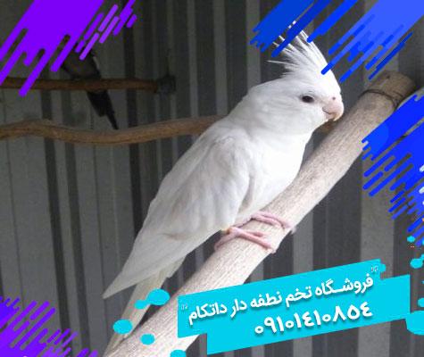 تخم نطفه دار طوطی عروس هلندی البینو