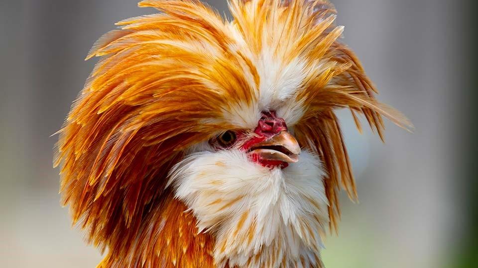 پرورش مرغ لهستانی رنگی