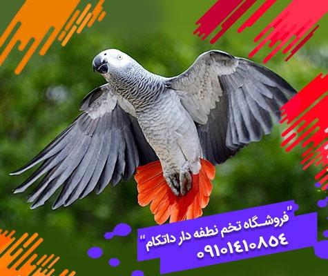 تخم نطفه دار طوطی کاسکو