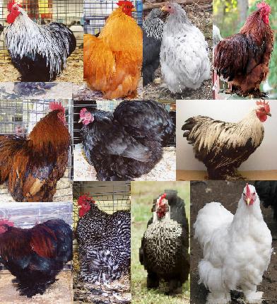 انواع مرغ کوشین