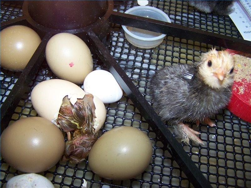 جوجه کشی تخم نطفه دار بوقلمون