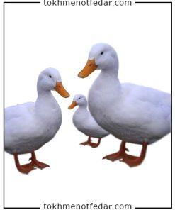 تخم نطفه دار اردک محلی
