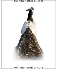تخم نطفه دار طاووس ابلغ