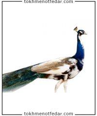 تخم نطفه دار طاووس جاوا اندونزی