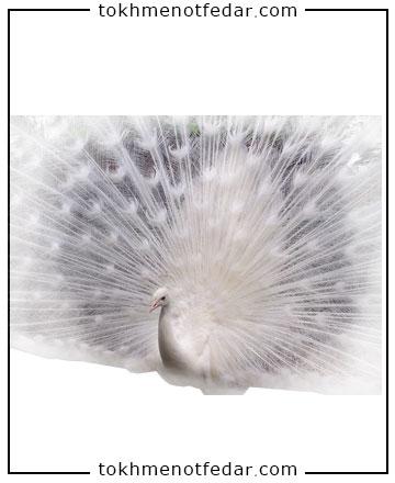 تخم نطفه دار طاووس سفید
