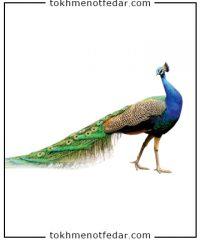 تخم نطفه دار طاووس هندی