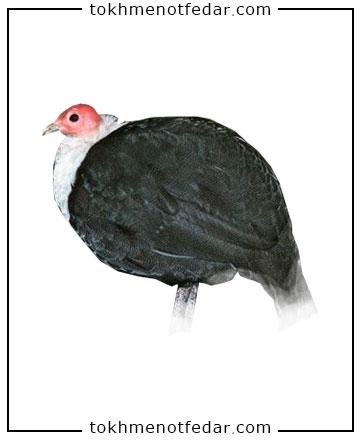 تخم نطفه دار مرغ شاخدار سینه سفید