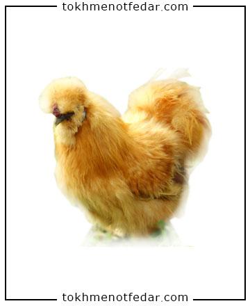 تخم نطفه دار مرغ ابریشمی گلد