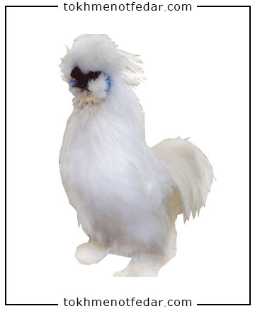 تخم نطفه دار مرغ ابریشمی کوپال
