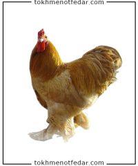 تخم نطفه دار مرغ برهما طلایی