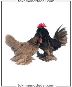 تخم نطفه دار مرغ بلژیکی