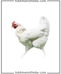 تخم نطفه دار مرغ راس گوشتی