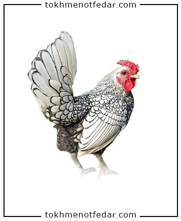 تخم نطفه دار مرغ سیبرایت مینیاتوری