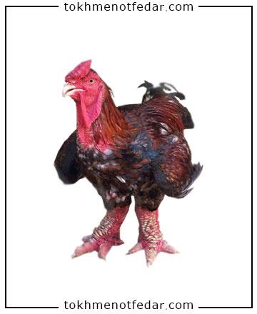 تخم نطفه دار مرغ پاگنده