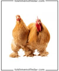 تخم نطفه دار مرغ کوشین