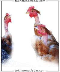 تخم نطفه دار مرغ گردن لخت