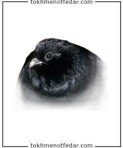 تخم نطفه دار کبک سیاه