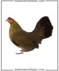 مرغ بانتم هلندی