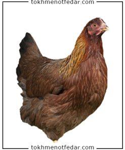 تخم نطفه دار مرغ ولسامر