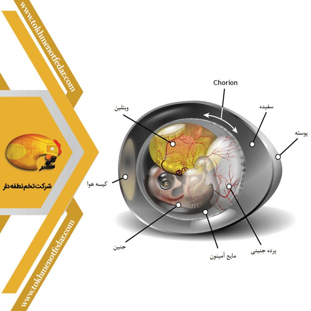 ساختار تخم