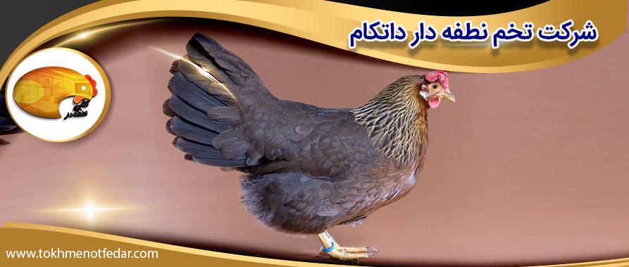 مرغ لگهورن قهوهای