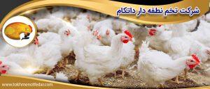 مرغداری گوشتی