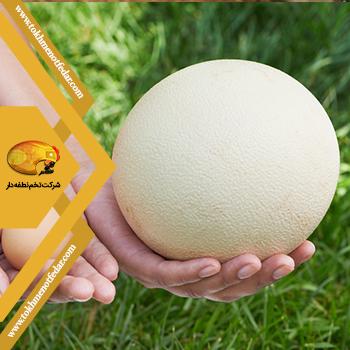 خواص تخم شترمرغ