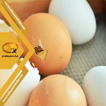 تخم نطفه دار صادراتی