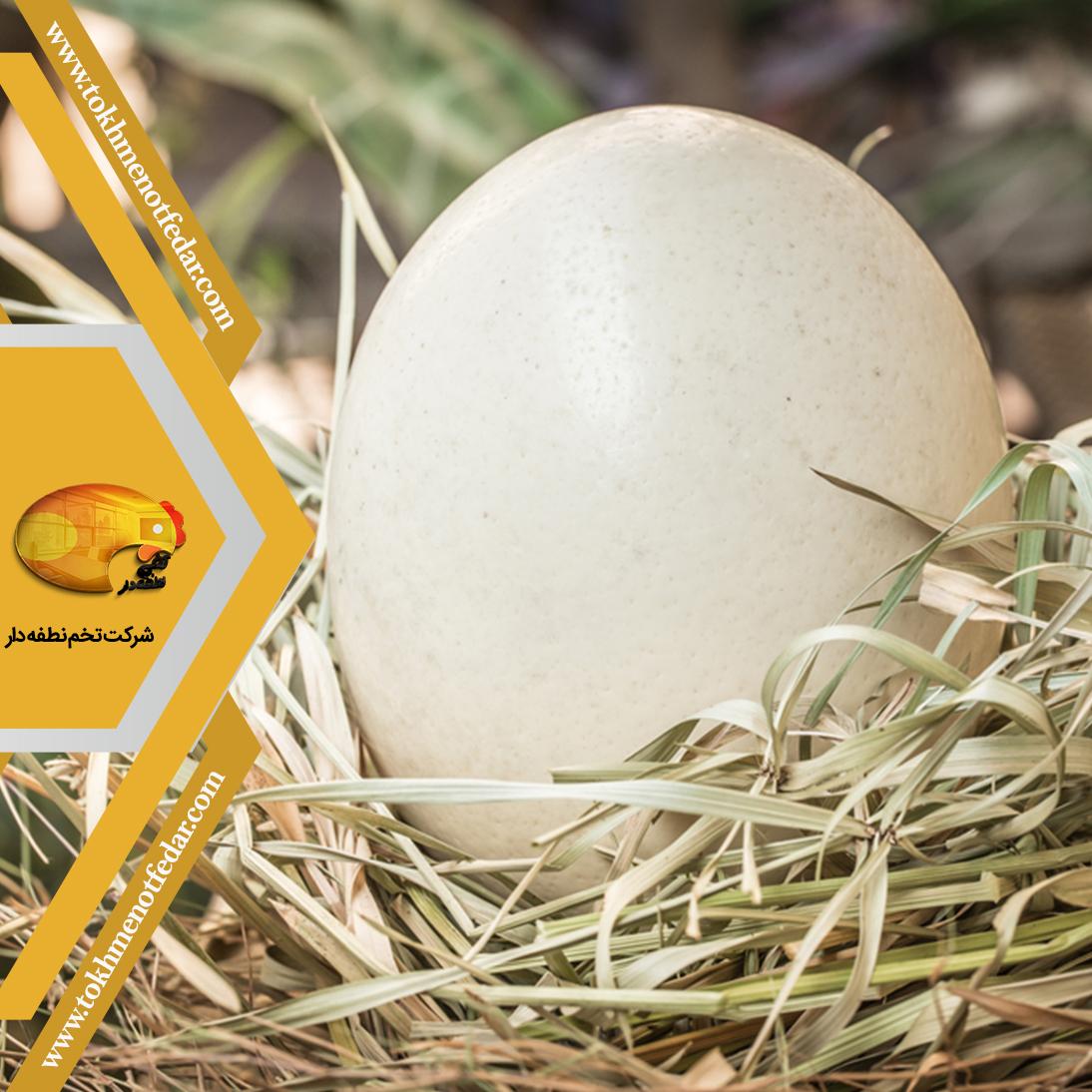 تخم خوراکی شترمرغ