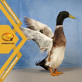 اردک دونده هندی