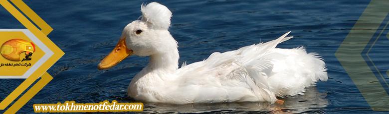 بالی در انواع نژاد اردک