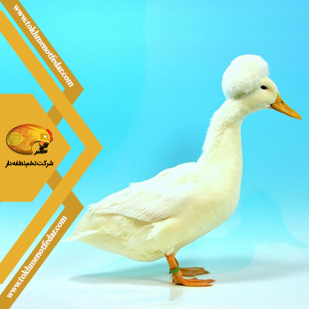 اردک تاجدار