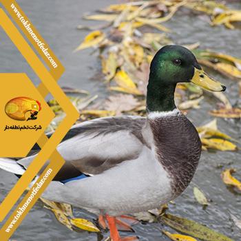 اردک سرسبز در انواع نژاد اردک