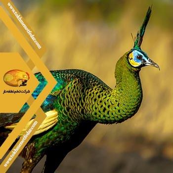 جاوا اندونزی در انواع نژاد طاووس