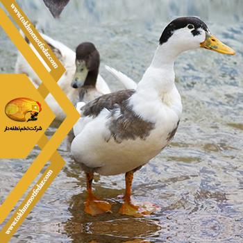اردک مگپی