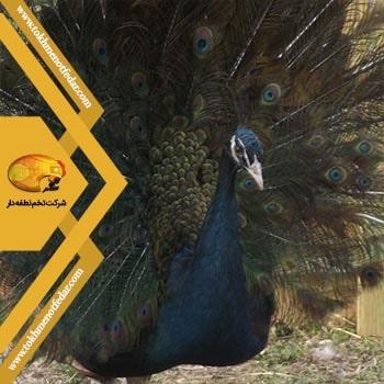 میدنایت در انواع نژاد طاووس