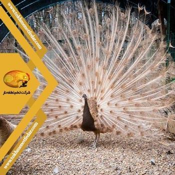 PEACH در انواع نژاد طاووس