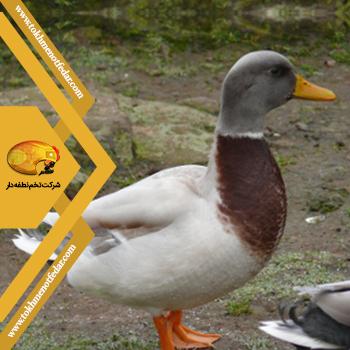 زاکسن در انواع نژاد اردک