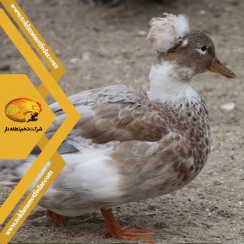 اردک تاجدار مینیاتوری