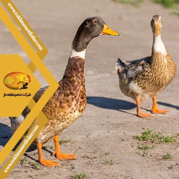 آباکوت رنجر در انواع نژاد اردک