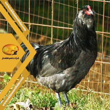 آمراکانا در انواع نژاد مرغ