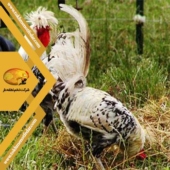 اپنزلر در انواع نژاد مرغ