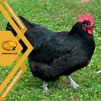 مرغ استرالوپ در انواع نژاد مرغ