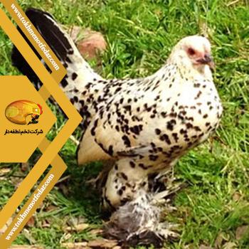 سابیل پوت در انواع نژاد مرغ