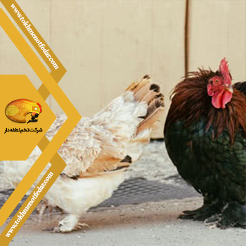 Favorelles در انواع نژاد مرغ