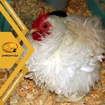 مرغ Frizzle در انواع نژاد مرغ