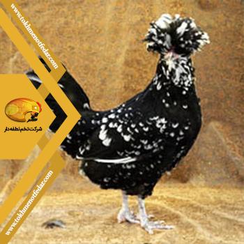 هودان در انواع نژاد مرغ