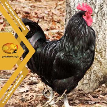 جاوا در انواع نژاد مرغ