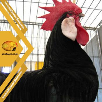مینورکا در انواع نژاد مرغ