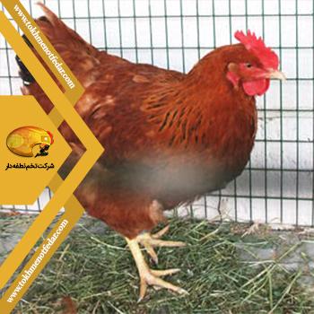 نیوهمشایر در انواع نژاد مرغ